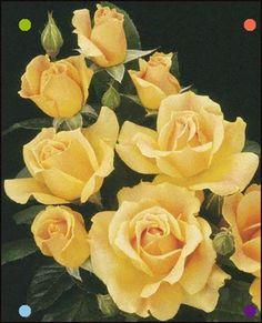 Easy Going Floribunda Shrub Rose From Weeks Roses: Golden, Peachy Yellow. Daffodil Flower, Cactus Flower, Pansies, Daffodils, Yellow Flowers, Pink Roses, Weeks Roses, Shrub Roses, Growing Roses