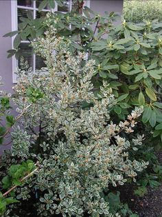 Rhamnus alaternus variegataEvergreen shrub grows to 6-8' tall and wide. Leaves edged with creamy white. Remove the green shoots when they appear or elseHeight Range 6-12'   they will take over plant. Needs little or no water.
