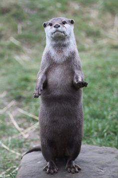 40 Cute Otter Pictures 27