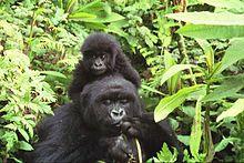 Ruanda - Gorilas de montaña en el Parque nacional de los Volcanes, al noroeste de Ruanda.