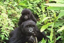 Photograph depicting female adult gorilla with a baby on her shoulders, surrounded by green foliage