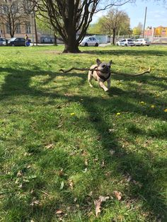 Csak a játék, French Bulldog with the Biggest Stick EVER!
