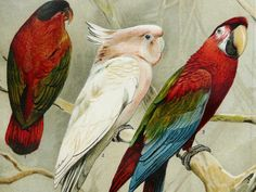 1897 Antique fine lithograph of different species of PARROT, LORY, COCKATOO, Parakeet, Budgerigar. 116 years old gorgeous print.