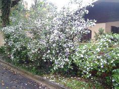 Flor de Manaca