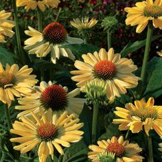 'Aloha' looks stunning planted en masse in a border, bed, or even an open area, where it can rock back and forth in the breeze. Add some phlox, ornamental grass, or darker-colored coneflowers.  Echinacea is a natural boon in your garden: Butterflies love it, and deer hate it. This vigorous Echinacea swiftly reaches up to 28 inches tall at the heads and spreads about 32 inches wide. Creamy yellow blooms open up in early summer and keep going until the first frost (about June-September…