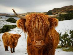 Scottish highland cattle in the snow