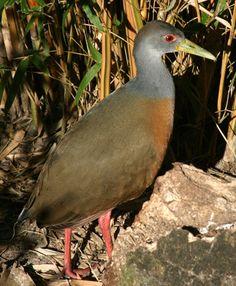 Gray-necked wood rail   Aramides cajaneaPCCA20051227-2034B - List of birds of Brazil - Wikipedia, the free encyclopedia