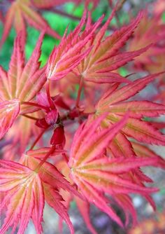 5' tall part shade Acer palmatum Coral Magic  3 - Year Graft