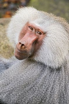 Nice portrait of a hamadryas baboon | Flickr - Photo Sharing!
