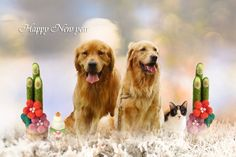 Happy New Year✨ * 今年もよろしくお願いします♡ * * * @golden_retriever_cherry * * #ilovegolden_retrievers #ゴールデンレトリバー #instagramjapan #nature_cuties #dogs_of_instagram #pupdoggydog #meowvswoof #bestwoof #dog_features #dogsofinstagram #Excellent_Puppies #puppytales #inutokyo #pecoいぬ部 #wooftoday #FurrendsUpClose #goldens_ofinstagram #heart_imprint #gloriousgoldens #Instadog #goldenretriever #puppytrip #retrieversgram #welovegoldens #Excellent_Dogs #puppiesforall #IGersJP #GoldenRetri...
