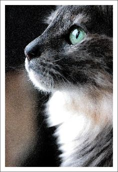A Turkish Angora Cat Turkish Van Cats, Turkish Angora Cat, Angora Cats, Crazy Cat Lady, Crazy Cats, Burmilla Cat, Long Haired Cats, Pet Shampoo, Hair Chalk