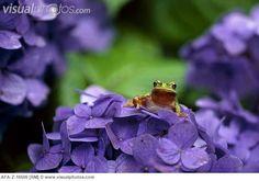 japanese frog illustration | Japanese tree frog and hydrangea