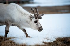If Santa is recruiting helpers to haul Christmas presents around the world this year he had better take a few extra, said researchers Monday who warned that reindeer are shrinking.  Over the past 16 years, the weight of adult reindeer in Svalbard in the Norwegian Arctic has dropped by 12 percent, likely