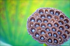 Lotus seed pod....and information about trypophobia, which would be the not-officially-recognized fear you might be suffering if this photo bothers you a lot.