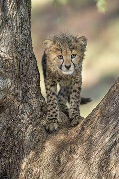 #Cheetah cub