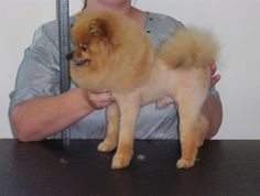 Scissor finished lion cut Pomeranian