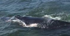 Members of Sea Tow and the American Yacht Club spotted a humpback whale in the Long Island Sound this week.