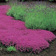 red creeping thyme and lavender