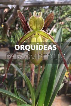 Orquídeas Phragmipedium - Phragmipedium Orchids