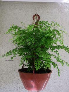 ....Adenium Blog....: Plantas ornamentais boas para apartamento. Plantar, Gardening Tips, Planter Pots, Blog, Bathroom, Pink Orchids, Vegetable Garden Tips, Vegetable Gardening, Shade Plants