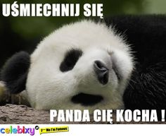 słodkie pandy - Szukaj w Google