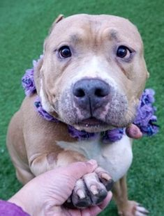 SAFE❤️❤️ 1/20/18 BY AMSTERDOG ANIMAL RESCUE❤️ Hello, my name is Charlie. My animal id is #18203. I am a female brown dog at the Manhattan Animal Care Center. The shelter thinks I am about 8 years old. I came into the shelter as a owner surrender on 13-Jan-2018, with the surrender reason stated as person circumstance- homeless. Charlie is at risk due to medical condition, recently diagnosed with Canine Infectious Respiratory Disease Complex