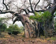 El baobab de Pafuri. Este ejemplar tiene unos 2.000 años y está situado en el Parque Nacional Kruger (Sudáfrica).