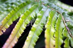 New Zealand 'Kiokio' Fern Royalty Free Stock Photo Pool Dance, Abel Tasman National Park, Kiwiana, Close Up Photos, Lush Green, Native Plants, Image Now, Ferns, Simply Beautiful