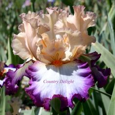 TB Iris germanica 'Brouhaha' (Ghio, 2011)