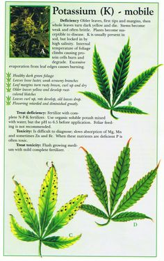 Cannabis Deficiency Guide   Marijuana Weed Problems Leafs Yellow Curling Guide