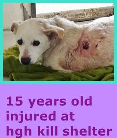 SAFE --- LULU will break your heart. She was surrendered to the shelter at 15 and has a big sore on her back. This angel is very sad and needs help now. Please SHARE, a FOSTER would save her sweet, innocent life. Thanks!  #A4798335 My name is Lulu and I'm an approximately 15 years, 8 month old female terrier https://www.facebook.com/171850219654287/photos/pb.171850219654287.-2207520000.1423345509./368126096693364/?type=3&theater