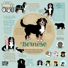 Bernese Mountain Dog Infographic Wall Art Dog Facts, Facts About Dogs, Animal Facts, Bernese Mountain Dogs, Mountain Dog Breeds, Swiss Mountain Dogs, Cutest Dog Breeds, Big Dog Breeds, Bernedoodle Puppy