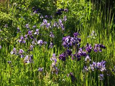 Lots and lots of siberain flags (Iris sibirica) in our garden at Moell. June 24th 2015