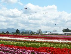 Skagit Valley, Washington - such a beautiful place in the spring. A must if you love tulips!