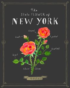The Rose, proud flower of New York State. I grew up in Albany, New York so this flower has a special place in my heart. One in a series of our