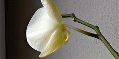 Pěstování orchidejí: co způsobuje zasychání a opad květů