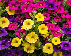 """Képtalálat a következőre: """"futó virágok balkonra"""""""