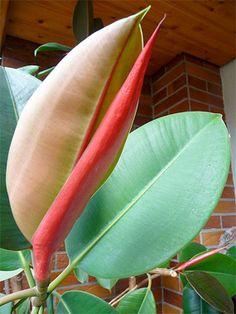 Ficus Elastica   Best Indoor Plants