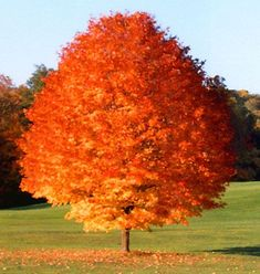 Trees And Shrubs, Flowering Trees, Trees To Plant, Red Maple Tree, Red Tree, Silver Maple Tree, Baumgarten, Fast Growing Trees, Shade Trees