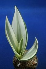 V7.1 Sansevieria guineensis 'Beauty Queen' - Extreme white variegated -