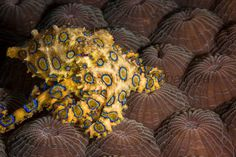 blue ringed octopus Underwater Images, Jehovah, Aquariums, Octopus, Whale, Lion Sculpture, Weather, Deep, Statue