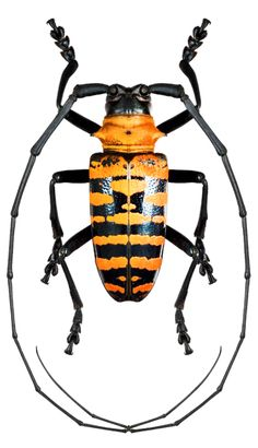 Nemophas (Nemophas) forbesi Beetle Insect, Beetle Bug, Insect Art, Weird Insects, Bugs And Insects, Longhorn Beetle, Reptiles, Insect Photos, Cool Bugs
