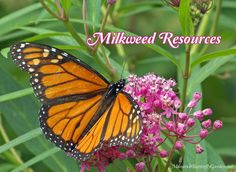 The first step in helping the struggling monarch population is to make sure there's plenty of milkweed to nourish their hungry baby caterpillars...and butterflies!