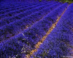 Intense purple colour