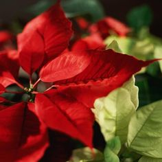I have a bunch of Poinsettias that I rescued from work. They keep throwing them out each year after Christmas and it really upsets me. One of the plants looks like it has just came from a flower shop (as of April 8th,) it has still most of its red leaves. I will upload a photo of it soon. The others look a little straggly but there are new green shoots growing. There are many websites that share how to care for your Poinsettia...please do not throw them out!