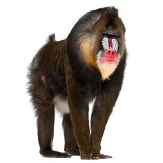 Art illustration - Mandrill: (Mandrillus sphinx) is a species of primate catarrino of the family Cercopithecidae (monkeys of the Old World). With a weight of up to 55 kg are the largest monkeys in the world (not counting the great apes). Its range includes western tropical areas of Africa, from Equatorial Guinea to Congo. Are recognizable by the olive-brown color of their coat and above all by the bluish and reddish coloration of their face and back.