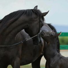 Black horse with colt.