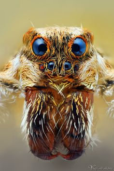 """coffeenuts: """"Wolf Spider (Lycosidae) by AlHabshi """" Spider Face, Wolf Spider, Spider Animal, Spider Webs, Micro Photography, Insect Photography, Levitation Photography, Exposure Photography, Winter Photography"""