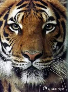 Aa Beautiful Cats, Animals Beautiful, Tiger In Water, Animals And Pets, Cute Animals, Large Animals, Tiger Pictures, Gatos Cats, Tiger Cub