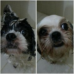 #シャワー です。 #shower time for Pepper  Luna #shihtzu#dog#family#philippines#シーズー#犬#フィリピン